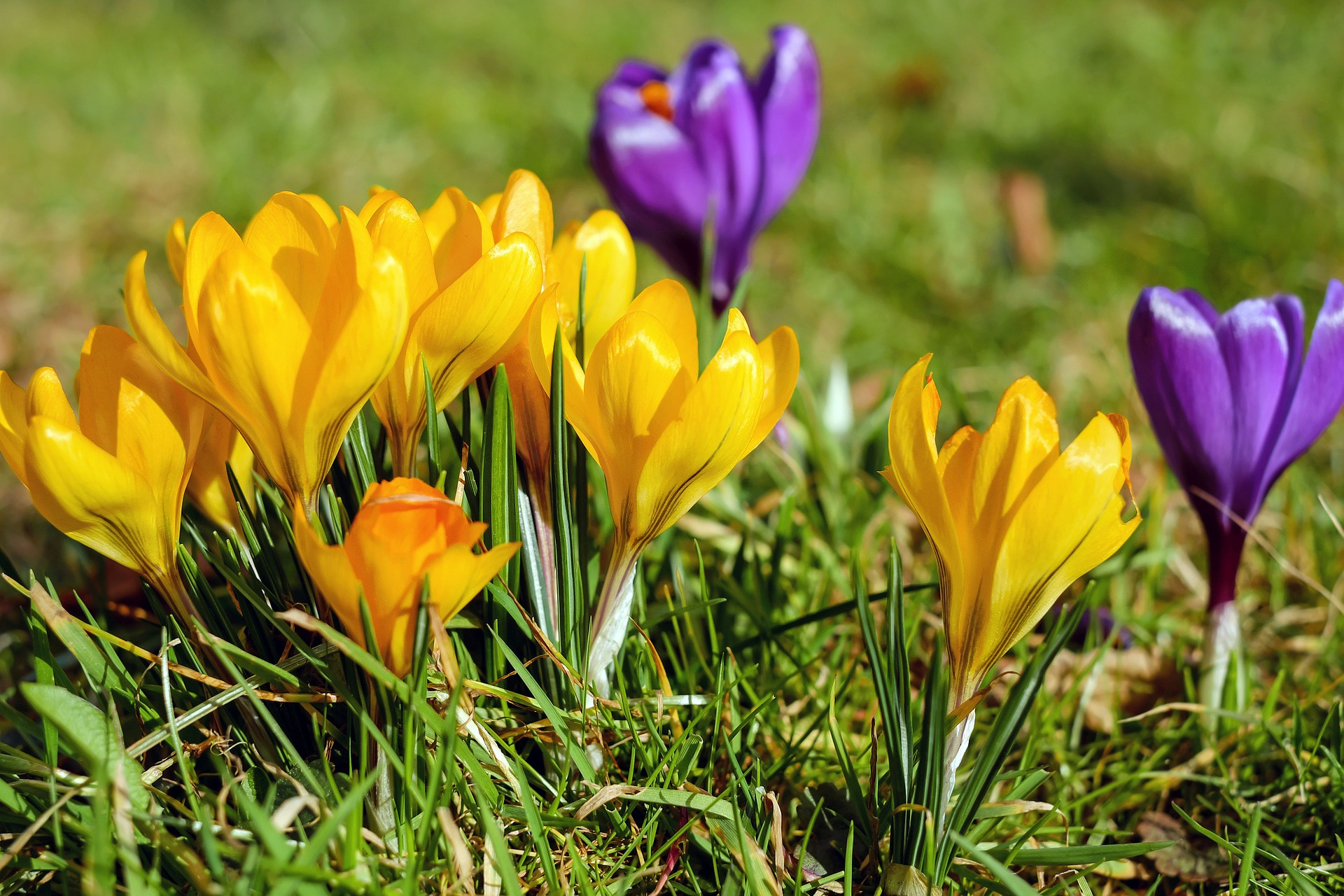Gelbe und violette Krokusse